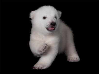 3-oso-polar-zoo-bufalo-nuev